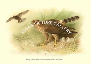 Montagu's Harrier - Circus Cineraceus, Female and Dark Form of Male